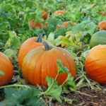 pumpkin garden at home